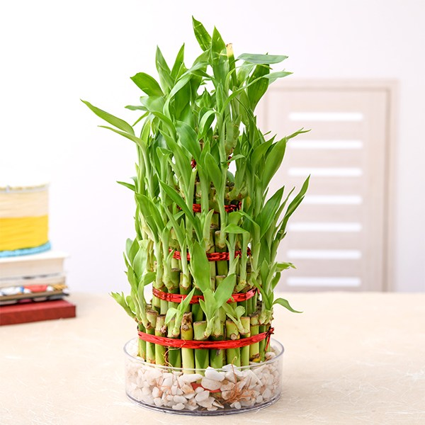 https://divinityworld.com/wp-content/uploads/2020/04/7-layer-lucky-bamboo-plant.jpg